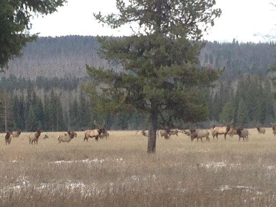 Herd of Elk on Our Drive to Town